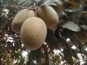 Lengra Mango from Sapahar Naogaon