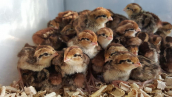 100 Baby Quail Bird