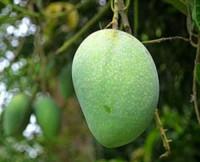 Fresh Gopal Bhog Mango 20Kg