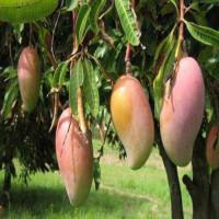 Fresh Rajshahi Amrapali Mango 20Kg