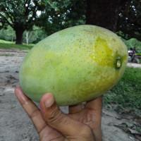 Fazli Mango
