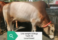 Native Brown Cow 320Kg