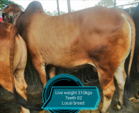Desi Red Cow 310Kg