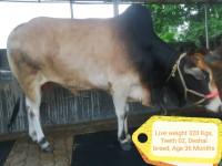 Deshal Breed Cow-320Kg