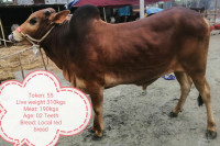 Local Red Breed Cow-310Kg
