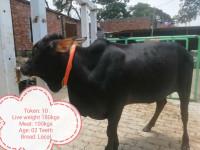 Deshi Breed Black Cow-180Kg