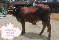Deshi Breed Red Bull-180Kg