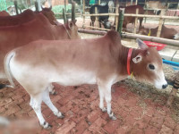 Deshi Bull Cow 175Kg