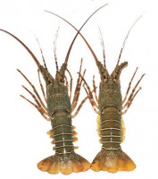 Lobster Fish