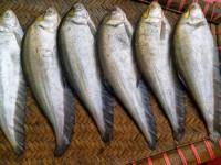 Foli Fish