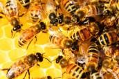 Sundarbans 100% Pure Natural Honey from Goran Flower